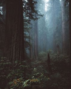 lost in the redwoods by nickcarnera on instagram - an awesome feed, go check it out
