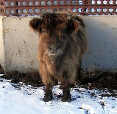 Cutest miniature Scottish highland cow EVER! Look Arburthnot, a mini cow! Scottish Highland Cow, Highland Cattle, Mini Cows, Mini Farm, Newborn Christmas Pictures, Farm Animals, Cute Animals, Fluffy Cows, Miniature Cattle