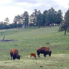 The buffalo have BABIES! Spotted this family as part of a bigger herd by I-70 just a couple days ago.  #buffalo #bison #biisoni #animals #wild #animalbabies #vasikka #colorado #visitcolorado #coloradolive #cometolife #travel #matka #reissu (via Instagram)