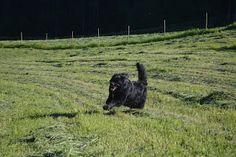 Gårdstunet Hundepensjonat: Herlige hunder nyter å løpe på nyslått eng:-)