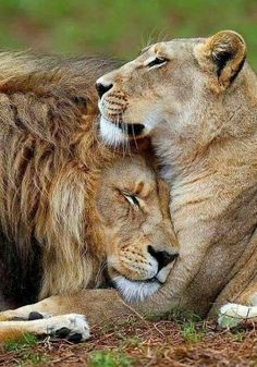 Tattoo Lion Strength Big Cats 42 Ideas For 2019 Nature Animals, Animals And Pets, Baby Animals, Funny Animals, Cute Animals, Animal Fun, Beautiful Cats, Animals Beautiful, Lion Couple