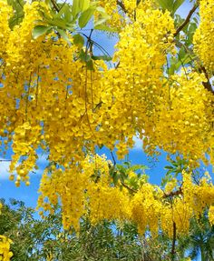 Even though I do not usually like yellow, I love this tree. It's gorgeous!!!  Lluvia de oro .Asunción-Paraguay