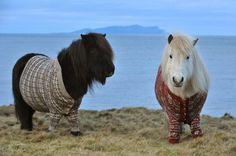 Ponies in Schottland