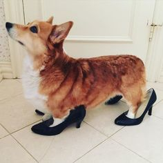 My corgi wanna be a fashion icon Animals And Pets, Baby Animals, Funny Animals, Cute Puppies, Cute Dogs, Dogs And Puppies, Corgi Mix, Corgi Funny, Super Cute Animals