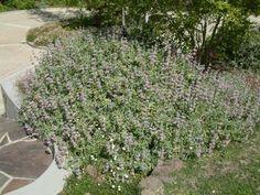 Plant photo of: Salvia leucophylla 'Point Sal Spreader'