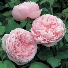 A variety of typical Old Rose beauty. The small, rounded buds gradually open to large, very full, deeply cupped flowers of soft glowing pink...