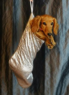 Dachshund #dachshund Dachshund Funny, Dachshund Breed, Long Haired Dachshund, Dachshund Love, Daschund, Best Apartment Dogs, Weenie Dogs, Doggies, Miniature Dachshunds