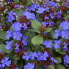 One of the best blues out there. Ceratostigma plumbaginoides