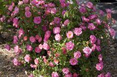 Easy Elegance 'Sunrise Sunset' shrub Rose