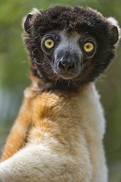 Collared Brown Lemur Eulemur collaris