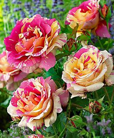 The large-flowered Rose 'Candy Stripe' has a compact growing habit with a high yield of large striped flowers and handsome leathery leaves. The flowers have an exquisite scent. Perfect for rose beds. The flowers are also ideal for cutting.