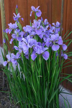 Iris sibirica, kurjenmiekka. kukkii keskikesällä, värejä valkoinen, keltainen sinisen sävyt. kaunis heinämätäsmäinen lehdistö