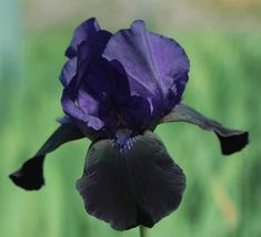 Deep Black- Tall Bearded Black Flag Iris - Kelways