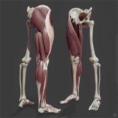 ArtStation - Leg anatomy, Jekabs Jaunarajs Source by kozoulia anatomy Leg Muscles Anatomy, Leg Anatomy, Girl Anatomy, Human Anatomy Drawing, Human Body Anatomy, Anatomy Poses, Muscle Anatomy, Anatomy Study, Drawing Legs