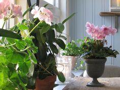 Gjør det ekstra hyggelig innendørs i mørketida med inneplanter som alpefiol, erica, eføy og duftranke. Hygge, Plants, Plant, Planets