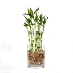Brussel's Bonsai 12 in. Fence Bamboo in Oval Glass Container-DT-7007L7B at The Home Depot
