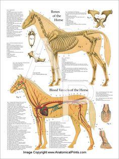 Лошадь скелетная и Артериальная Анатомия. Приведен постер малого разрешения (увы!), напоминание о существовании подобных.
