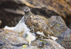 Ready for winter - Male ptarmigan camouflaged in the rocks