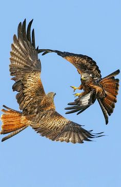 Newest Pics beautiful birds of prey Concepts To be a wildlife involving fodder photographer, the key situation almost all make a complaint pertaining to w Little Birds, Love Birds, Beautiful Birds, Animals Beautiful, Amazing Animals, Cute Animals, Wild Animals, Eagle Pictures, Red Kite