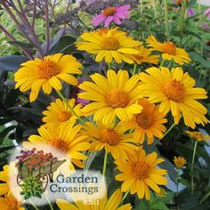 Heliopsis 'Tuscan Sun' loves it hot! Very drought tolerant once established. Long bloom time for summer enjoyment. (False Sunflower)