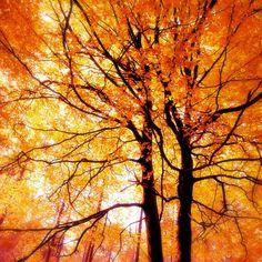 Nature Photography, Autumn, Forest, Fall,Trees, Orange, Fine Art print, Home Decor.