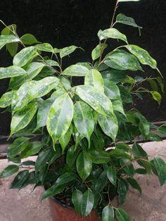 FICUS 'ANASTASIA' (ABIGARRADO AMARILLO) *Descripción -Cultivado por su follaje muy decorativo que le dan un toque brillante a su interior.  -Árbol o arbusto grande que forma delgada tallos arqueando a pendular. Las hojas de 5-15 cm de largo oblonga brillante y, en punta, coriáceas , cáscara de color verde oscuro e iluminado de color amarillo verdoso en la parte superior y más claro en la parte posterior. Use el nombre: Ficus Exposición -Sol Temperatura De 10 a 20 ° --C.Rociar 1-2 veces…