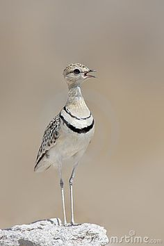 Double-banded Courser by Johannes Gerhardus Swanepoel