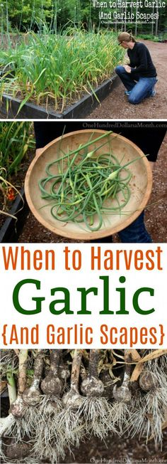Gardening, How to Harvest Garlic Scapes, How to Harvest Garlic, Garlic Scape, Gardening Tips, #vegetablesgardening