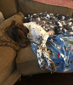 Spoiled much? Not Hanna Banana! On couch...head on pillow & covered up with a blanket! . #GSP
