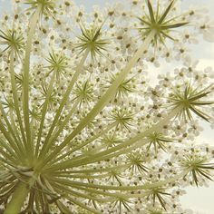 lady anne's lace latin name - Google Search