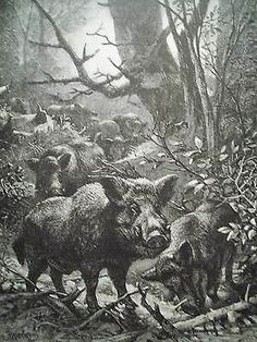 Art Print Original 1885 Wood Engraving Wild Boar Hog/Pig J.G.Wood