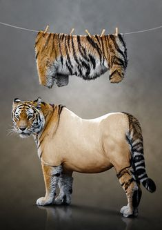 tiger washes wahsed stripes clothes hanging on clothes line to dry, Photo Manipulation – Tiger Undressed