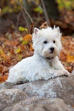 Westie (West Highland White Terrier)... Lovely Autumn Photo!