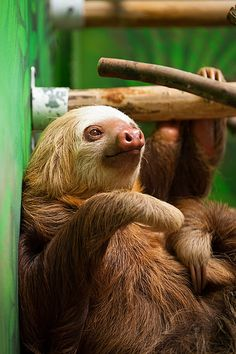 Two-toed sloth | Flickr - Photo Sharing!