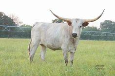 Texas longhorn heifer at GVRlonghorns Cattle Farming, Livestock, Cattle For Sale, Green Valley Ranch, Raising Cattle, Longhorn Cattle, Texas Ranch, Texas Longhorns, Farm Animals