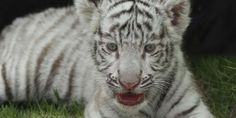Wild Things: Stop Forcing Baby Tigers to Swim with Tourists