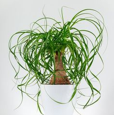 Ponytail Palm Tree: Our Best Tips For Growing and Care | It also strikes us as very Dr. Seussian.
