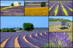 Who wants to see the Lavender Fields in Provence, France?