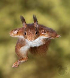 "beautiful-wildlife: ""Ninja Squirrel by Theo Vanden Wyngaert """