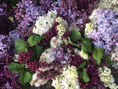 Speechless Sunday : Springtime and Lilacs!