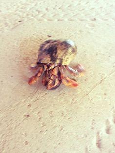 Caraībische heremietkreeft #Hermit #Crab #Shell #Little #Curaçao
