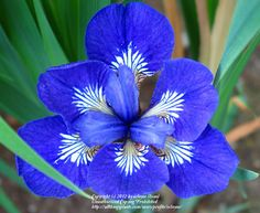 Siberian Iris 'Roku Oji'