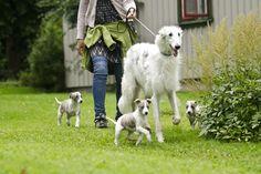 whippet pups and borzoi