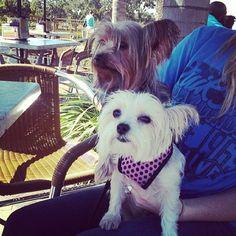 [Photo Credit: @ruderaffy via Instagram] #yorkie #dog #TijuanaFlats #TexMex