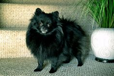 Pomeranian Dog--My Pomeranian is  black with a patch of white on his chest! I love Pomeranians!