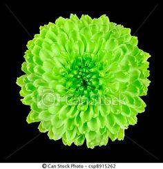 Lime green Chrysanthemum