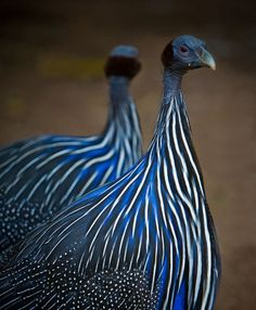Guinea fowl. Gorgeous design.Ours are just common fowl, are  these as good a watch dogs as the common ones?