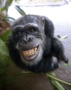 Just found out that chimpanzees do smile :)