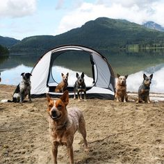 Squad goals. #campingwithdogs @west_coast_heeler_pack