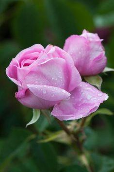 Csodálatos rózsaszín tearózsa